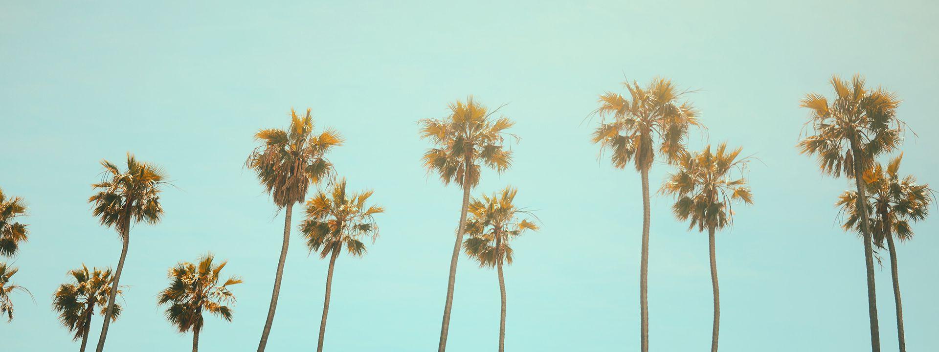Pretty California palm trees